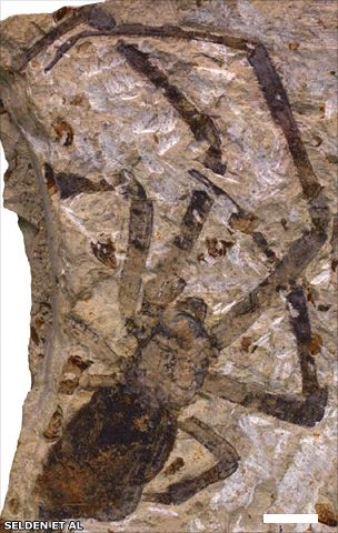 Fossilised spider 'biggest on record'  The female, which lived about 165 million years ago, belongs to a collection of spiders well known today - the golden orb weavers.  Until this new fossil turned up in Inner Mongolia, the most ancient example from this grouping, or genus, was about 35 million years old.