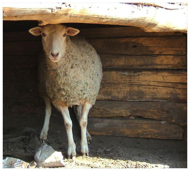 778 Best Goat Farm Images On Pinterest: 17 Best Images About FARM~sheep & Goats On Pinterest