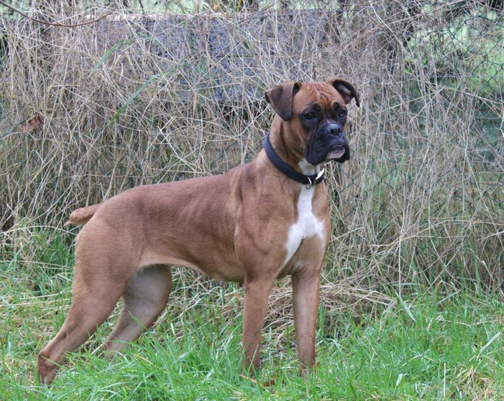 Layla Boxer 12 months