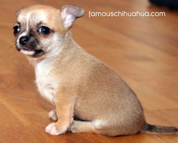 tan short haired chihuahua puppy... THIS IS MY DOG AS A PUPPY. I SWEAR.