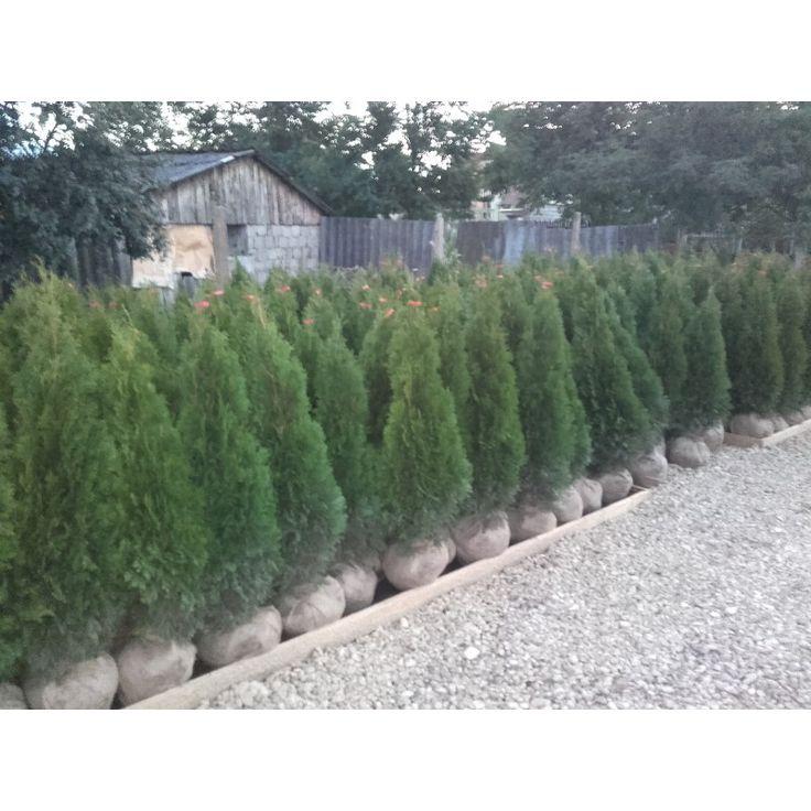 Tuia Smaragd, Thuja occidentalis SMARAGD, 20 - 30 cm - Veky Garden