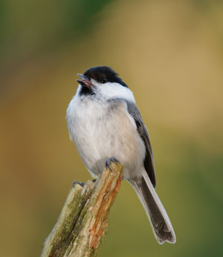 Willow tit (Poecile montanus) - A calling Willow tit.