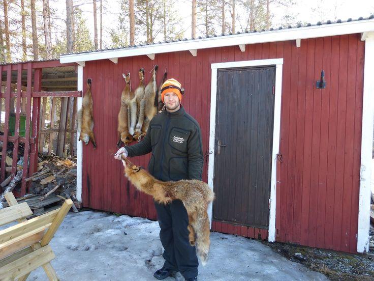 Jaktkniv Knv3 i användning: Åsele Trappern - Flåning och skinnhantering 1 (bälgflåning)