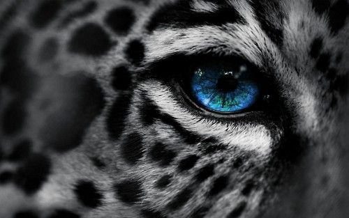 ❖Big Cat, Cheetahs, Cat Eye, Snow Leopards, Beautiful, Blue Eye, Tigers, Leopards Eye, Animal