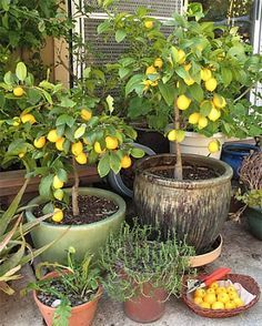 I just got a dwarf lemon tree and a dwarf lime tree. I'm using the info from the webpages below to learn about how to take care of these fruit trees. https://www.fourwindsgrowers.com/growing-essentials/watering-guidelines.html