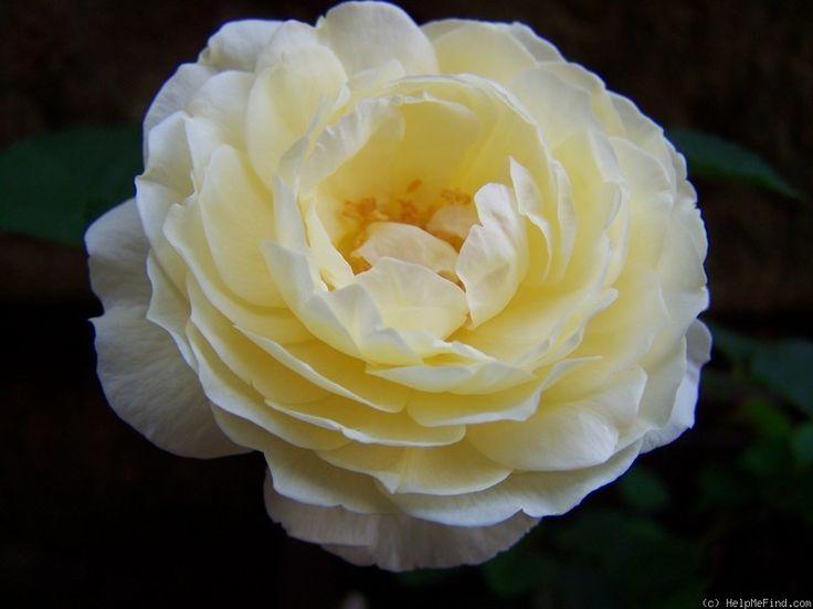 'Mariella ' Rose Photo