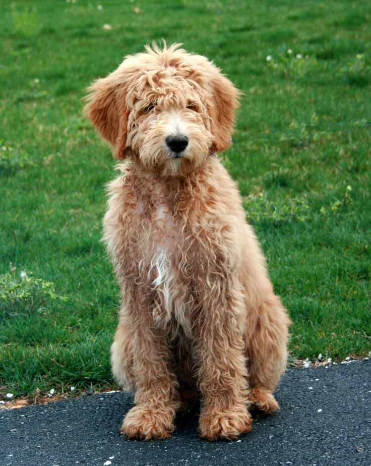 35 best goldendoodle haircuts images goldendoodle my goldendoodle carlos goldendoodle haircuts