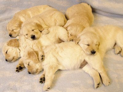We had a long day - sleeping golden retriever puppies / group nap