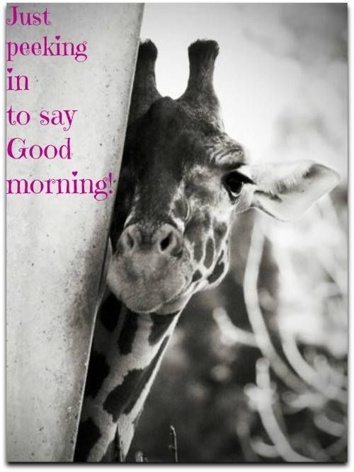 Good morning! #InterestingFact Giraffes only sleep around 20 minutes or less per day, according to PBS Nature. Staying awake most of the time allows them to be constantly on alert for predators. They usually get their sleep in quick power naps that last just a couple of minutes.They have one of the shortest sleep requirements of any mammal.