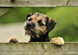 Border Terrier looking through fence Card