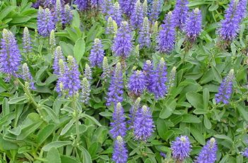 Untitled DocumentVeronica Alpine Speedwell Tight mat forming green carpet – small blue spikes of flower in early summer make great show – can mow down flowers to neaten – 20cm in height – normal water and soil – drought tolerant – meadow – patio – rock garden - humid area – no scent