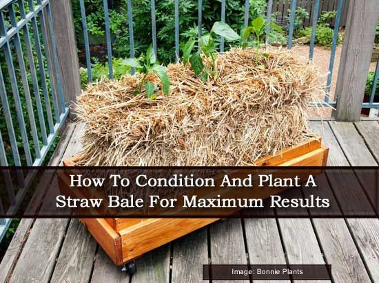 How To Condition And Plant A Straw Bale For Maximum Results Gardening Pinterest Plants