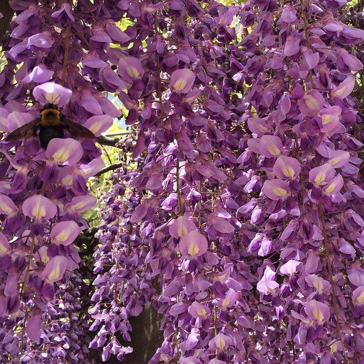 野田藤が見頃でした ( ). い香りがしました #野田藤 #藤の花 #いい香り #とにかくいい香り #語彙の少なさ #なんとかしてっ #ぽろんぽろん #鈴なり #春だわね #花の季節 #虫の活動も活発になるね #ドキドキの季節が来る #熊ん蜂 #お食事中 #羽音にびびる #けっこうデカい #でも丸いから可愛い #flower #beautiful #smellsamazing  #bee by satopenelope