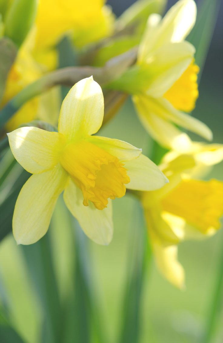 315 best daffodils images on pinterest daffodils flowers and