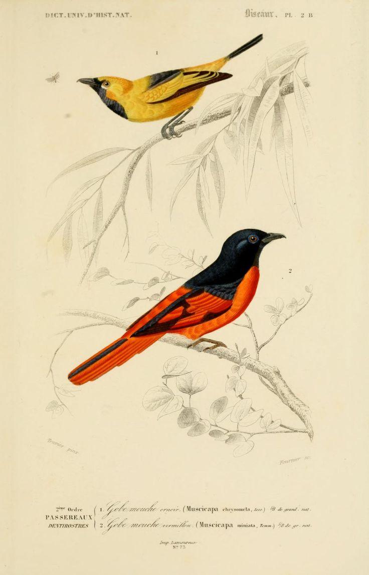gravures couleur d'oiseaux - Gravure oiseau 0175 gobe mouche vermillon -muscicapa miniata - passereau - Gravures, illustrations, dessins, images