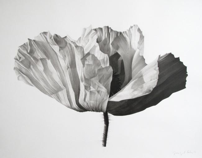 © Jonathan Delafield Cook ~ Poppy II ~ 2012 charcoal on paper at Tim Olsen Gallery Sydney Australia
