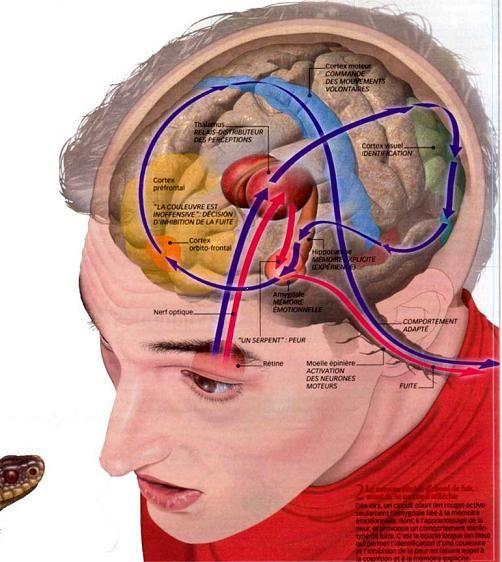 Circuits et traitement des stimuli sensoriels                                                                                                                                                                                 Plus