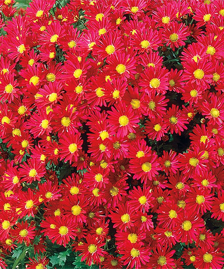Take a look at this Live Monster Mum Red Daisy Plant - Set of Three today!