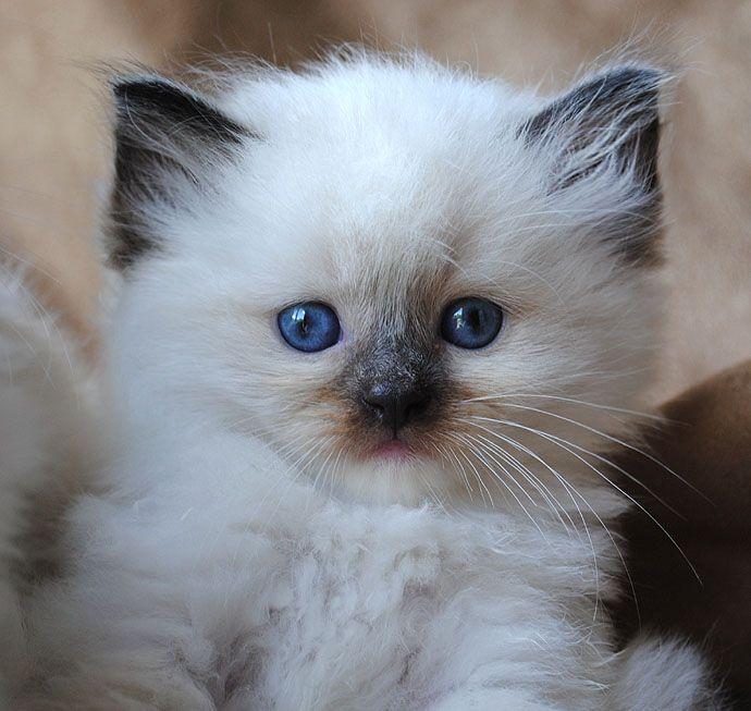 Seal mitted ragdoll kitten via Blue-Gem Ragdoll photo Gallery