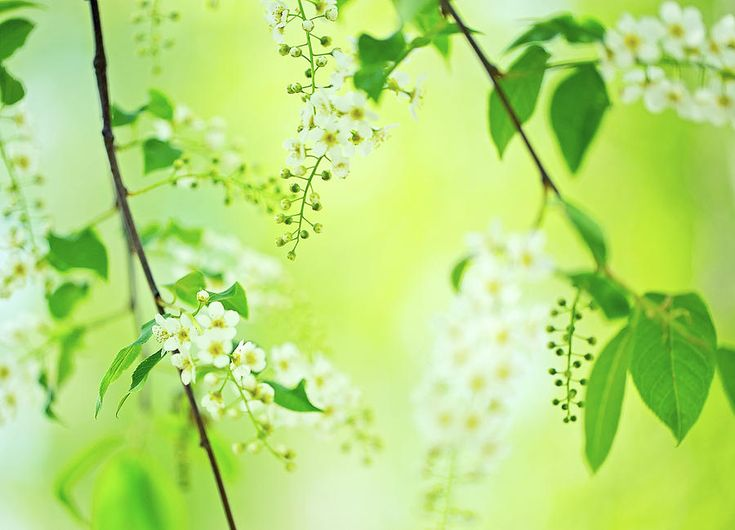 Fine Art Photography Photograph - Spring Blossom by Oksana Ariskina #OksanaAriskina #OksanaAriskinaFineArtPhotography #FineArtPhotography #HomeDecor #FineArtPrint #PrintsForSale #Flower #Apple #White #Green #Cherry #Blossom #Bloom #Garden