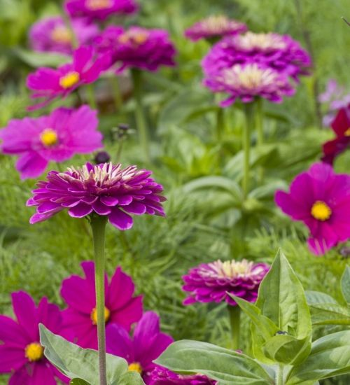 Zinnia elegans 'Giant Purple Prince' is the most incredible huge and spectacular zinnia. Plant it with cosmos or artichokes in your borders.