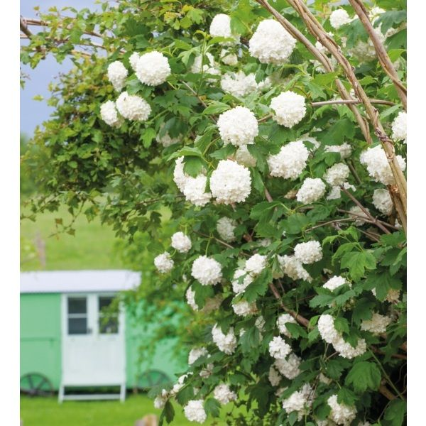 I have just purchased Viburnum opulus 'Roseum' from Sarah Raven - https://www.sarahraven.com/flowers/plants/shrubs/viburnum_opulus_roseum.htm
