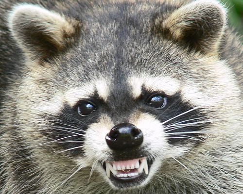 Google Image Result for http://stoppopculture.com/wp/wp-content/uploads/2009/01/raccoon.jpg: