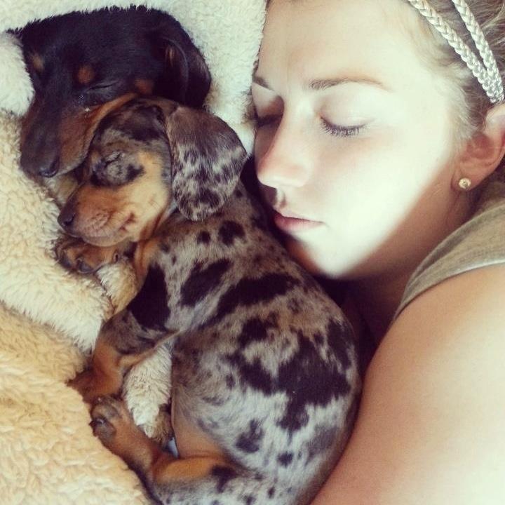 daple dachshund and black dachshund