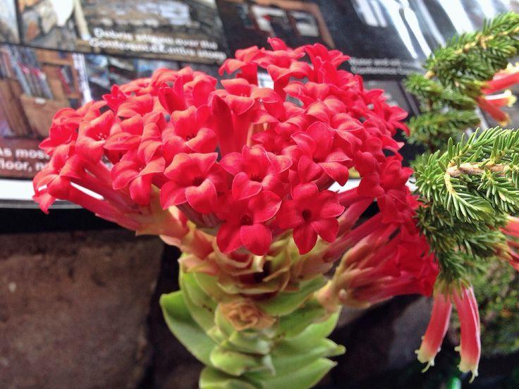 Crassula cochinea