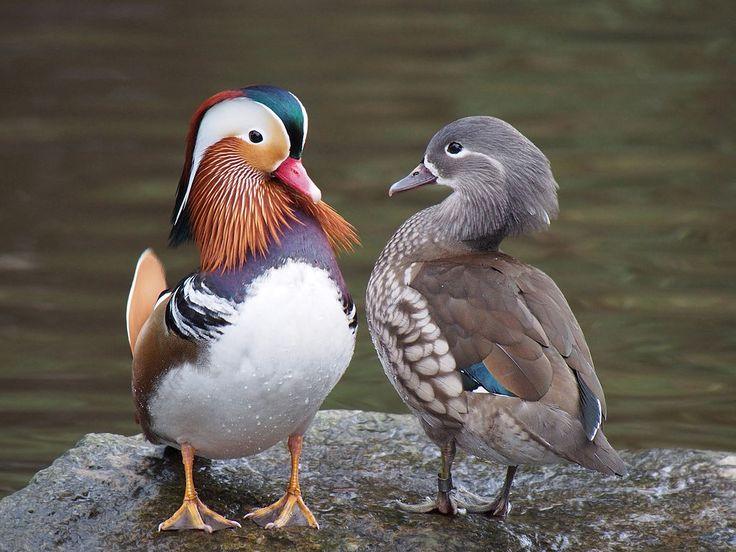 Canard mandarin — Couple