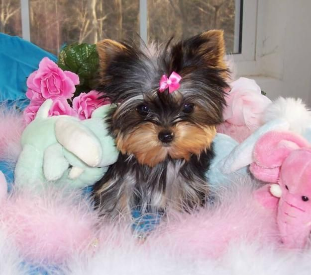 Yorkies!!!: Dogs, Adorable Animals, Pet, Puppys, Fur Babies, Puppy, Yorkshire Terriers