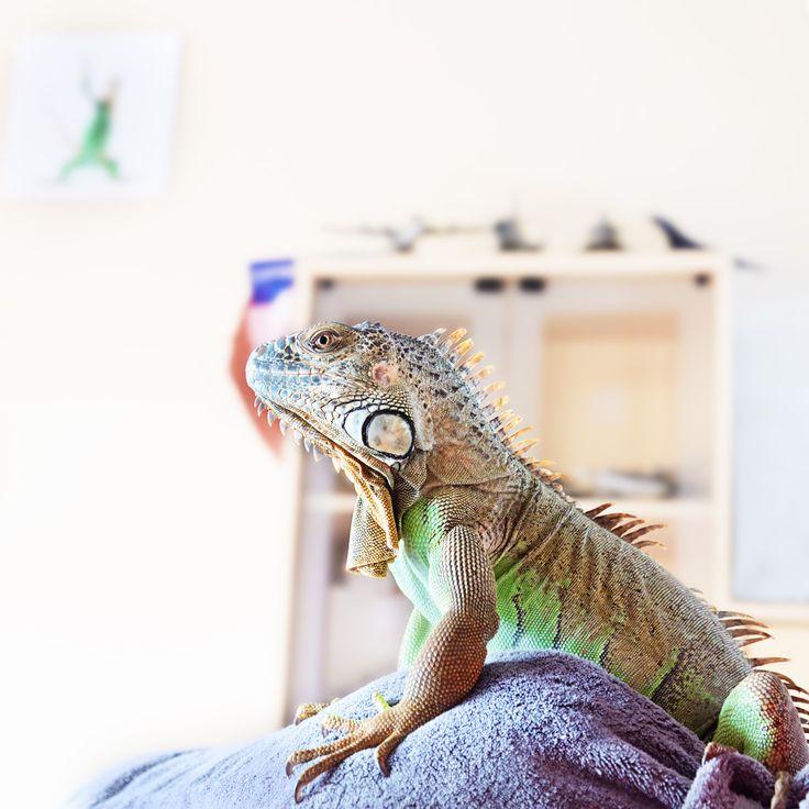 iguane, photographie animalière, portrait