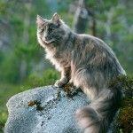 北欧神話にも登場!森の妖精・ノルウェージャンフォレストキャットの特徴、性格、飼い方は?  | COCOA