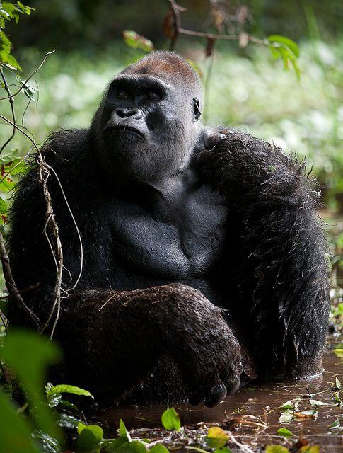 Gorilla, Republic of Congo