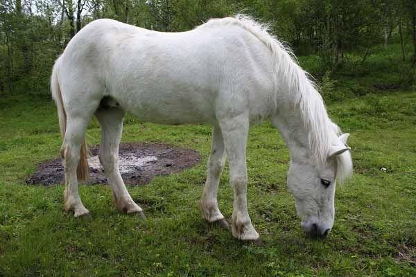 NORTHLANDS #PONY Pony da sella e tiro leggero, originario della Norvegia.  Le origini di questo cavallo sono antichissime e si rifanno al pony di tipo nordico discendente dal Mongolian Wild Horse e dal Tarpan. E' stato allevato fino al '900 da… Per continuare a conoscere la razza: https://itunes.apple.com/it/app/vademecum-del-cavallo-secondo/id765697733?mt=8&uo=4 Grazie.