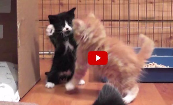These Foster Kittens Take Play Fighting to the Next Level! It's A Load of Cute! - Love Meow