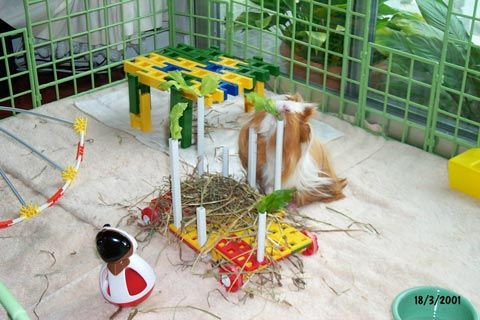 Guinea Pig Toys and Play