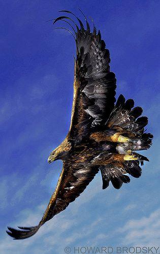 """""""Golden Eagle"""""""