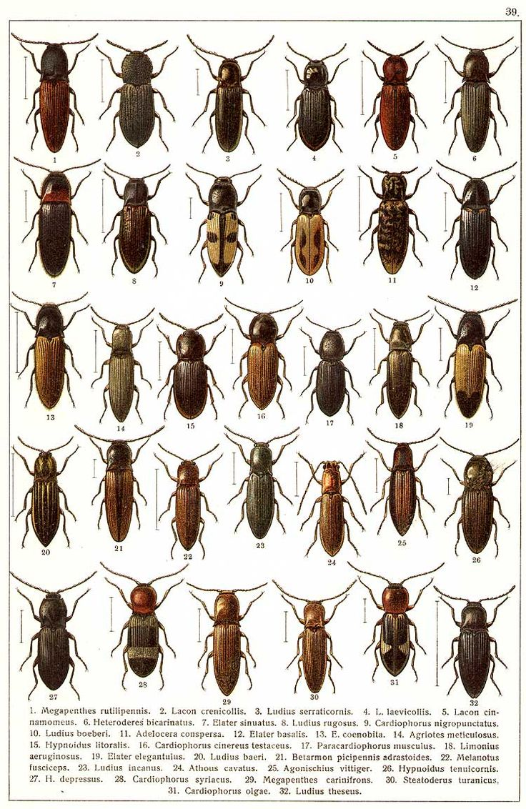 """G.G. Yakobson (1905-1915) - """"Beetles of Russia"""": table 39"""
