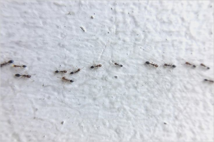 Very Small Ants In Bedroom   Tiny ants Ants in house ...