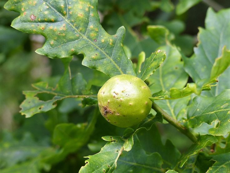 Oak marble gall, caused by the wasp Andricus kollari, Garryland, July 2017.