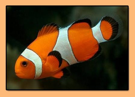 97 best images about fish on pinterest rocks fish for Clown fish scientific name