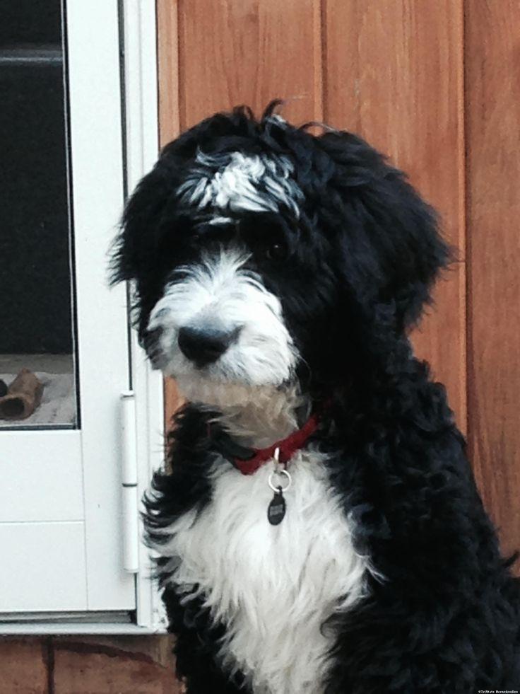 59 Best Dogs Bernedoodle Images On Pinterest