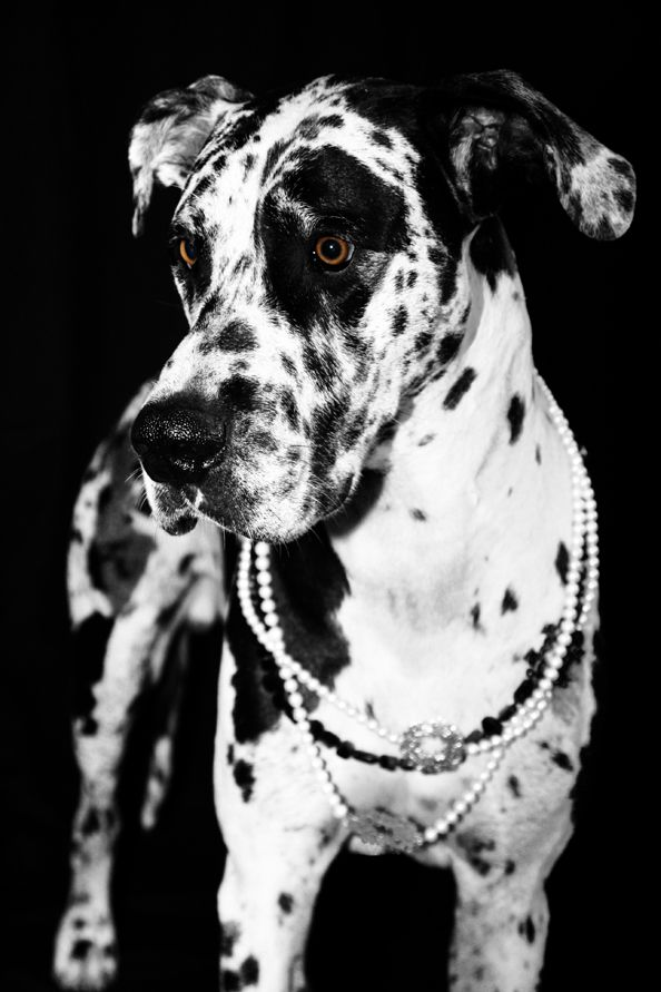 spotted great dane, black and white, beautiful, majestic dog. she is even lovelier in her pearls. :)