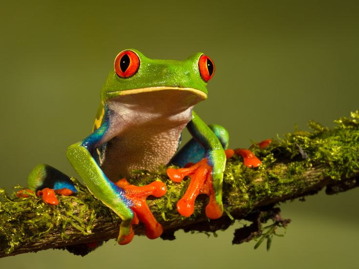 World's Cutest Frog | 15. Frogs use their sticky, muscular tongue to catch and swallow food.