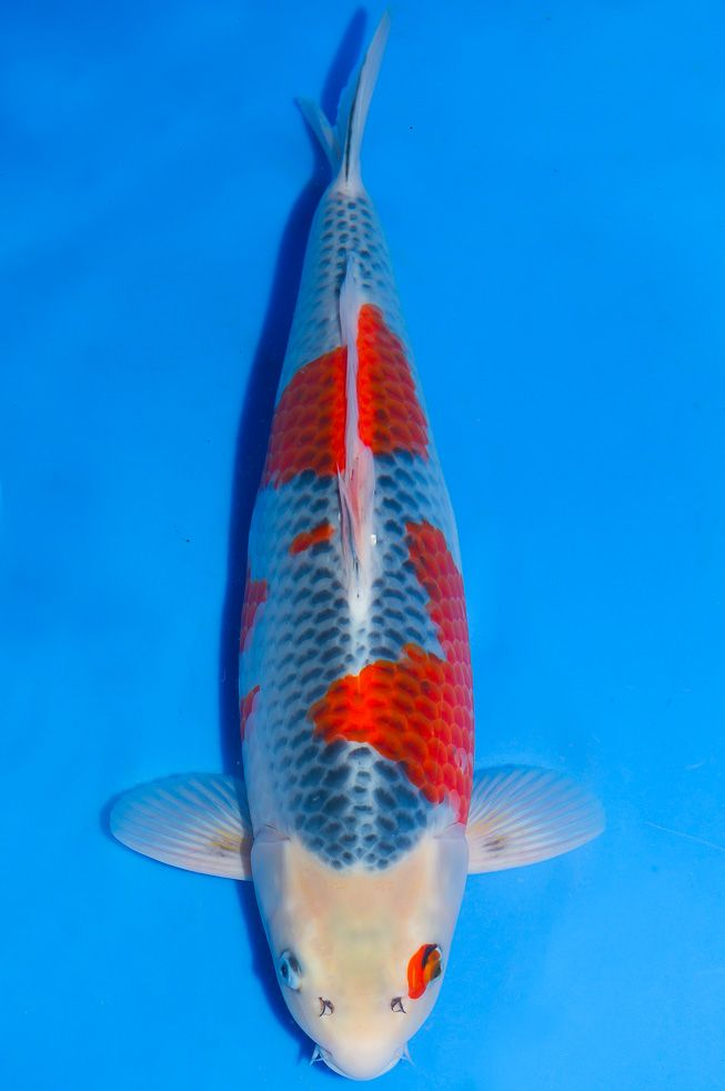 17 best images about koi name on pinterest the head for Koi fish head