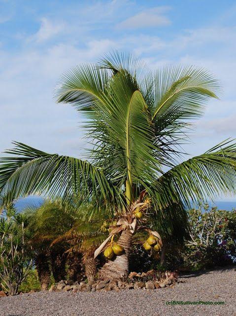 Fiji Dwarf Coconut Palm Tree. I love these palms ...