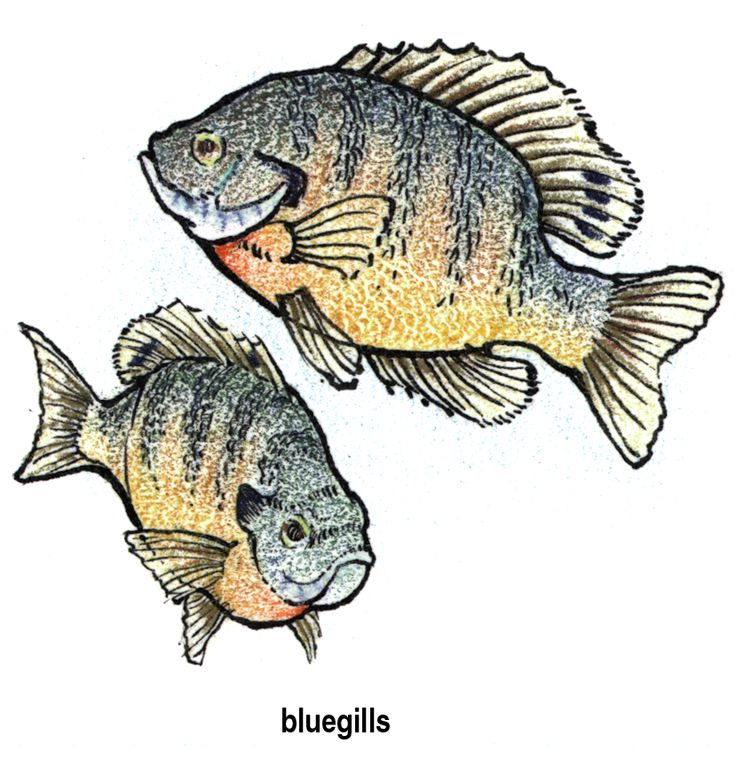 Bluegill Images Name Bluegill Lake Art Fish Painting
