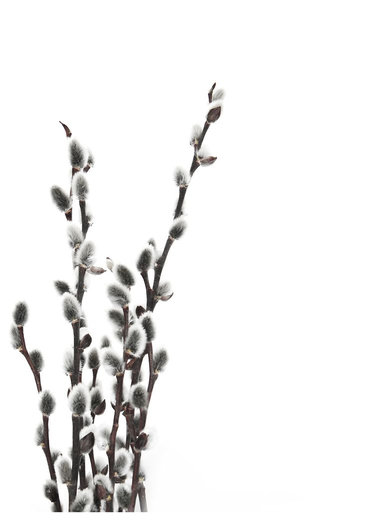 a handful of spring:  pussy willow (mary jo hoffman)