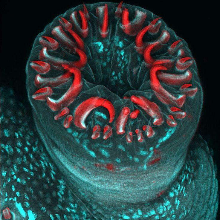 Photo d'une fausse patte d'une chenille qui a subi un grossissement de 20x à l'aide de la technique d'imagerie par fluorescence : la microscopie confocale.   ©  Karin Panser